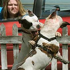 If you are attacked by a pit bull - National Pit Bull Victim